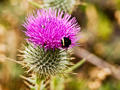 Thistle and Bee(s)